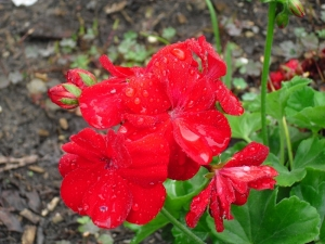g.geranium