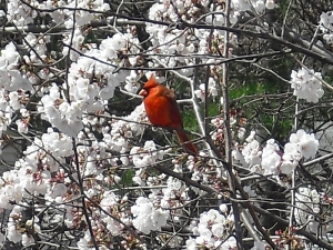 1_cardinal