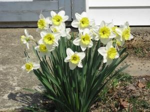 2_daffodils