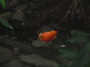Scarlet  Bird