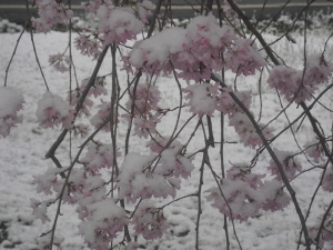 Another Weeping Cherry Picture