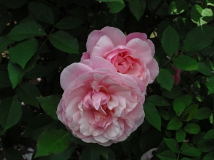 Pink Gruss an Achen