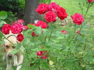 Eater-of-rosebuds