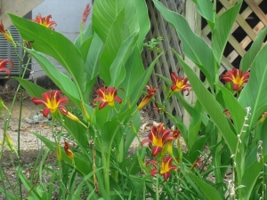 Lilies and Canna