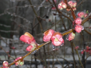 Iced Quince