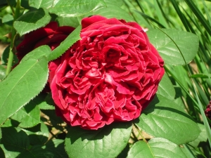 many_petaled_rose