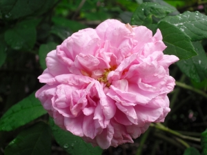 ruffled_rose