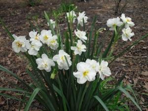 c.daffodil