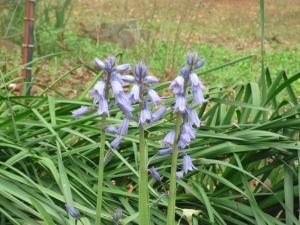 d.bluebells