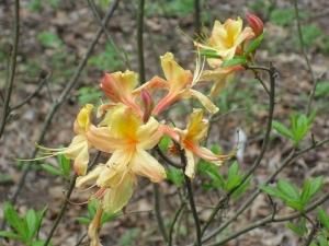 e.rhododendron